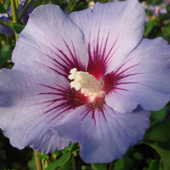 Hibiscus Syriacus Blue Bird Garteneibisch Bestellen