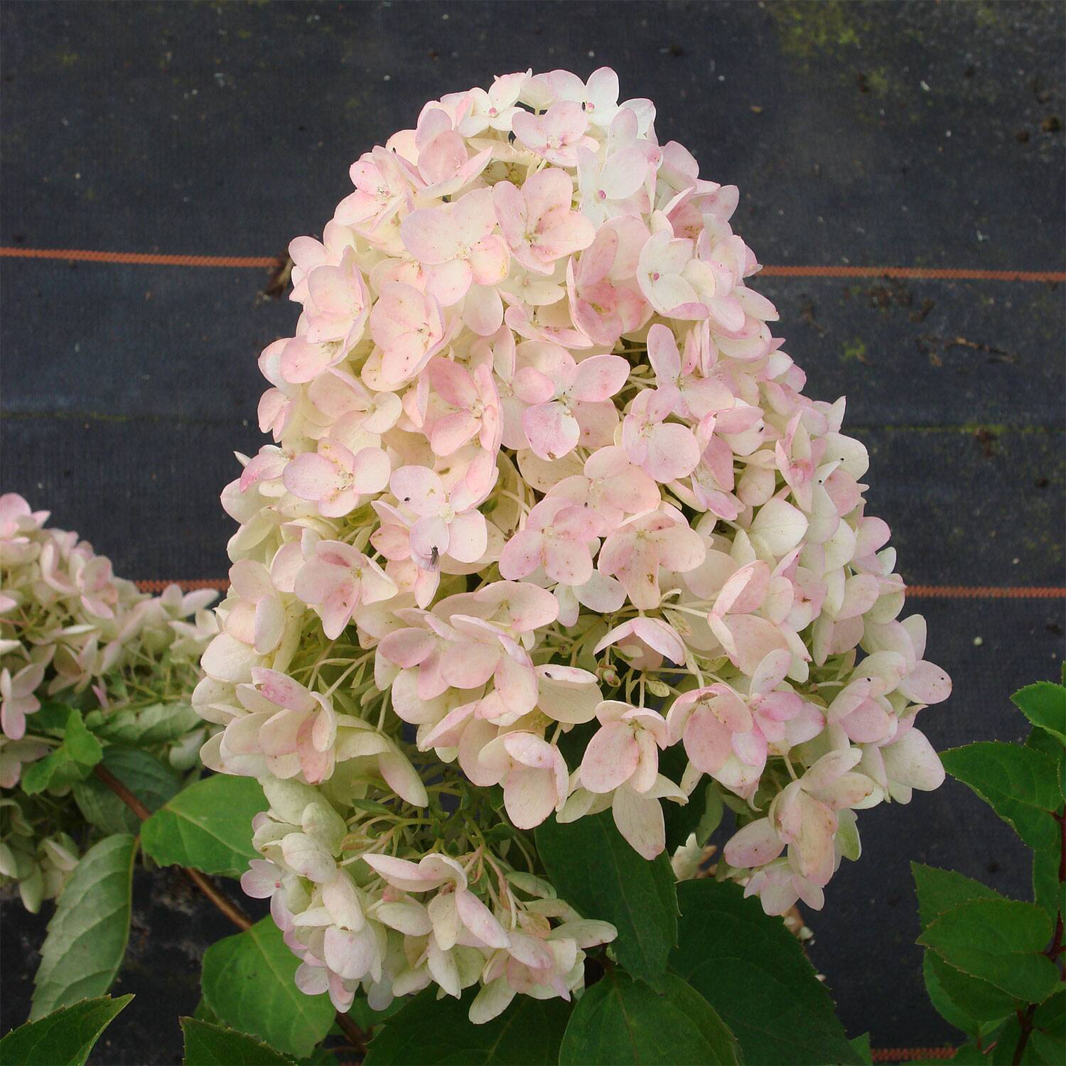 hydrangea paniculata 39 grandiflora 39 rispen hortensie. Black Bedroom Furniture Sets. Home Design Ideas