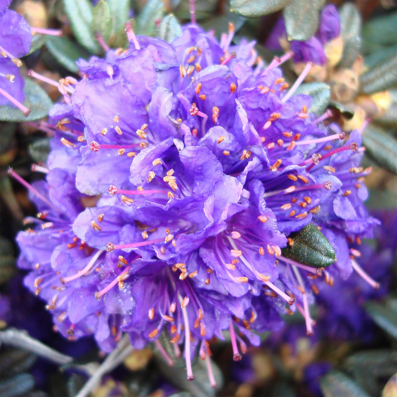 rhododendron 39 azurro 39 rhododendron hybride 39 azurro 39. Black Bedroom Furniture Sets. Home Design Ideas