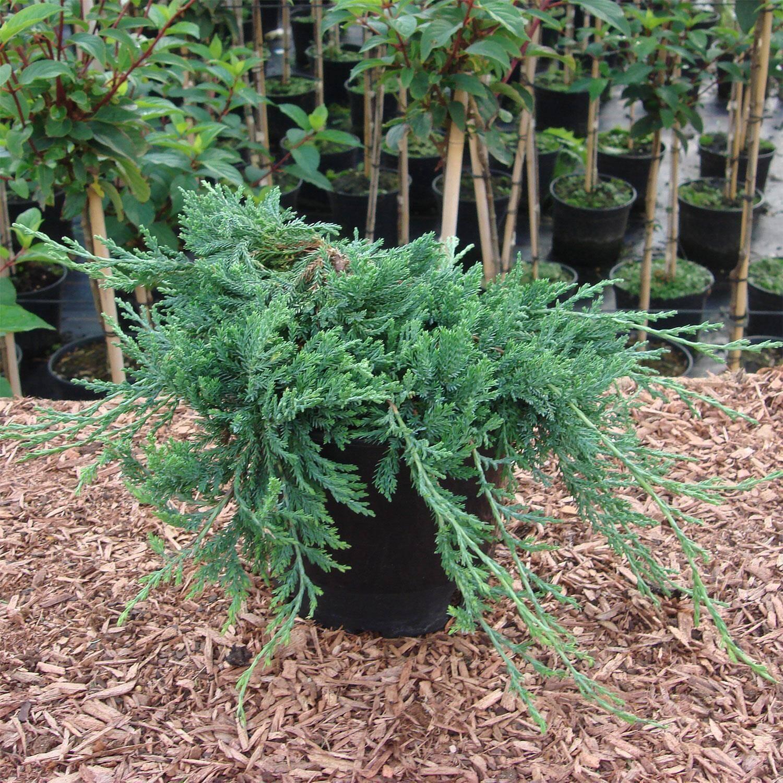blauer teppich- kriechwacholder - juniperus glauca, Hause ideen