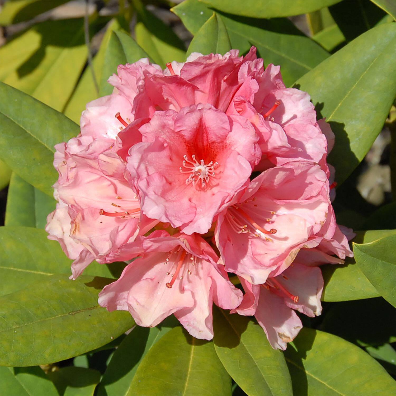 rhododendron erika guyens gro blumige hybride. Black Bedroom Furniture Sets. Home Design Ideas