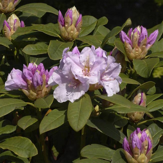rhododendron 39 eskimo 39 rhododendron hybride 39 eskimo 39. Black Bedroom Furniture Sets. Home Design Ideas