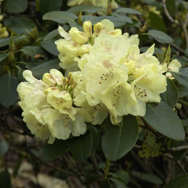 rhododendron goldkrone gro blumige hybride. Black Bedroom Furniture Sets. Home Design Ideas