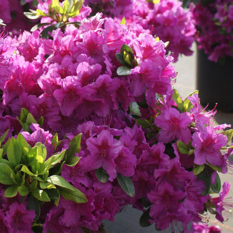 rhododendron k nigstein azalee obtusum. Black Bedroom Furniture Sets. Home Design Ideas
