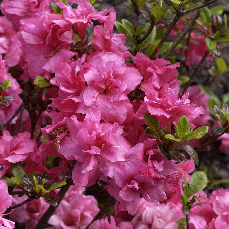 rhododendron 39 rokoko 39 rhododendron obtusum 39 rokoko 39. Black Bedroom Furniture Sets. Home Design Ideas