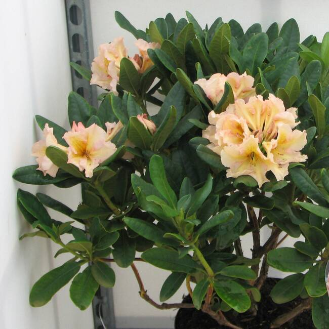 Rhododendron Hybride Norfolk Candy