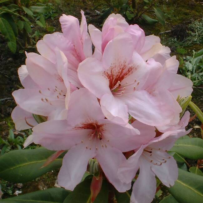 Rhododendron Hybride Paola