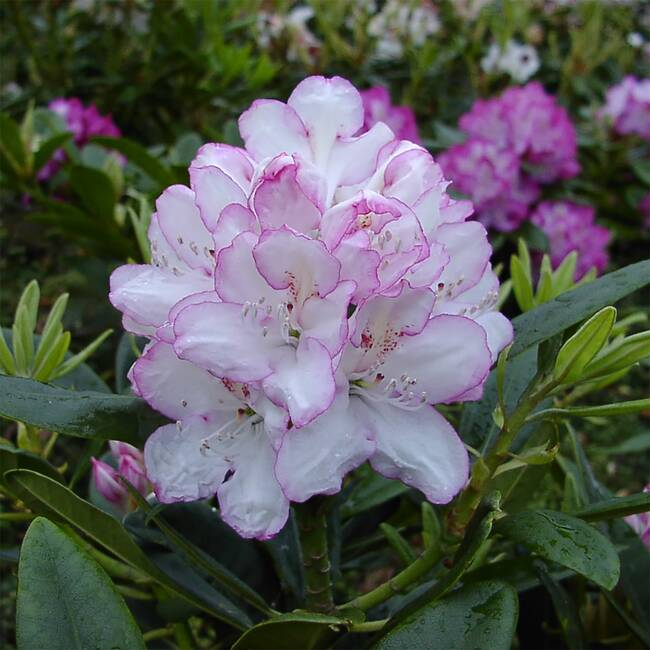 Rhododendron Hybride Picotee