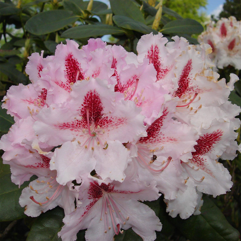 rhododendron blutezeit hybride progres wann