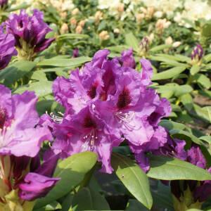 rhododendron bei online bestellen seite 4. Black Bedroom Furniture Sets. Home Design Ideas