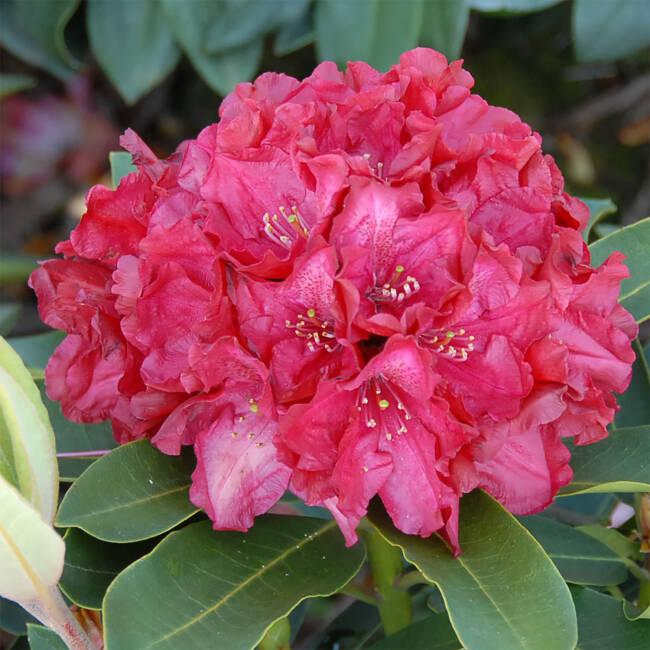 rhododendron roter korsar gro blumige hybride. Black Bedroom Furniture Sets. Home Design Ideas
