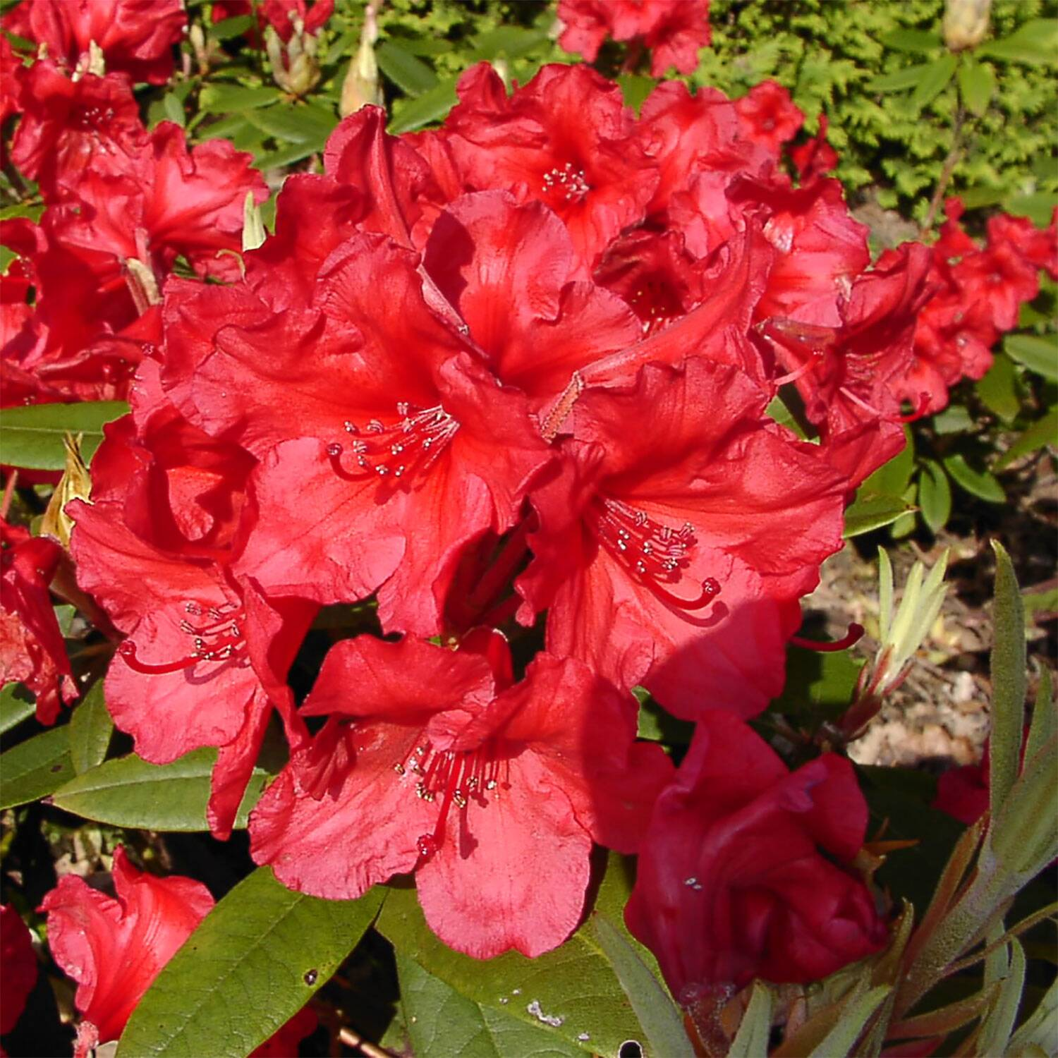 rhododendron 39 vulcan 39 s flame 39 gro blumige rhododendron. Black Bedroom Furniture Sets. Home Design Ideas