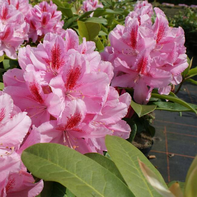 Rhododendron Hybride Furnivalls Daughter