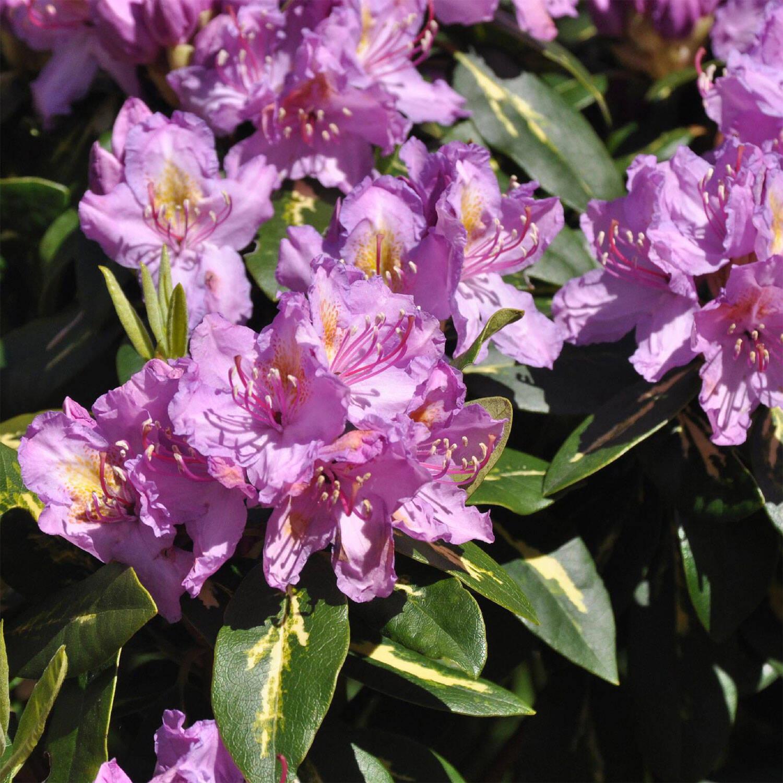 gro blumige rhododendron hybride 39 goldflimmer 39. Black Bedroom Furniture Sets. Home Design Ideas