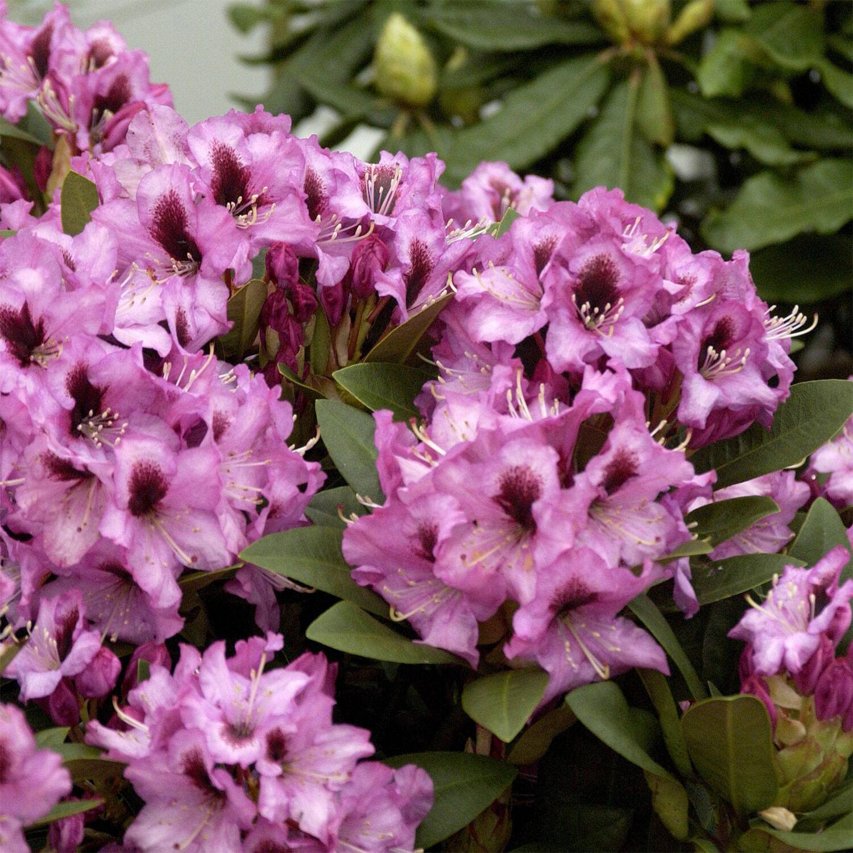 rhododendron kokardia gro blumige hybride. Black Bedroom Furniture Sets. Home Design Ideas