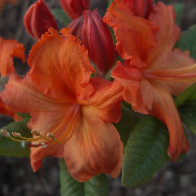 rhododendron blutezeit luteum barselik bad zwischenahn