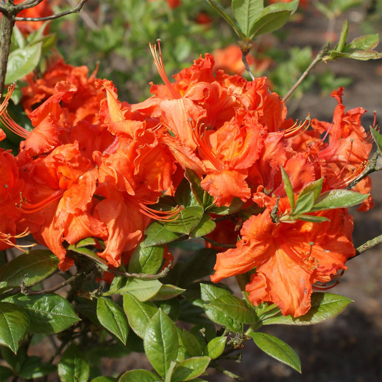rhododendron 39 gibraltar 39 rhododendron luteum 39 gibraltar 39. Black Bedroom Furniture Sets. Home Design Ideas