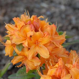 rhododendron bei online bestellen seite 6. Black Bedroom Furniture Sets. Home Design Ideas