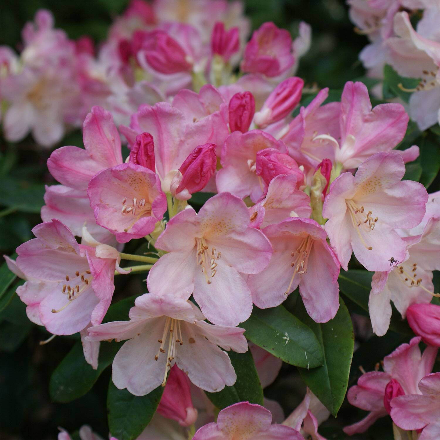 rhododendron yakushimanum 39 percy wiseman 39. Black Bedroom Furniture Sets. Home Design Ideas