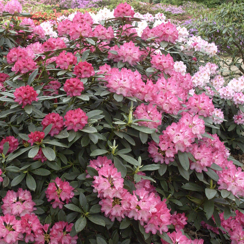 rhododendron sneezy yakushimanum. Black Bedroom Furniture Sets. Home Design Ideas