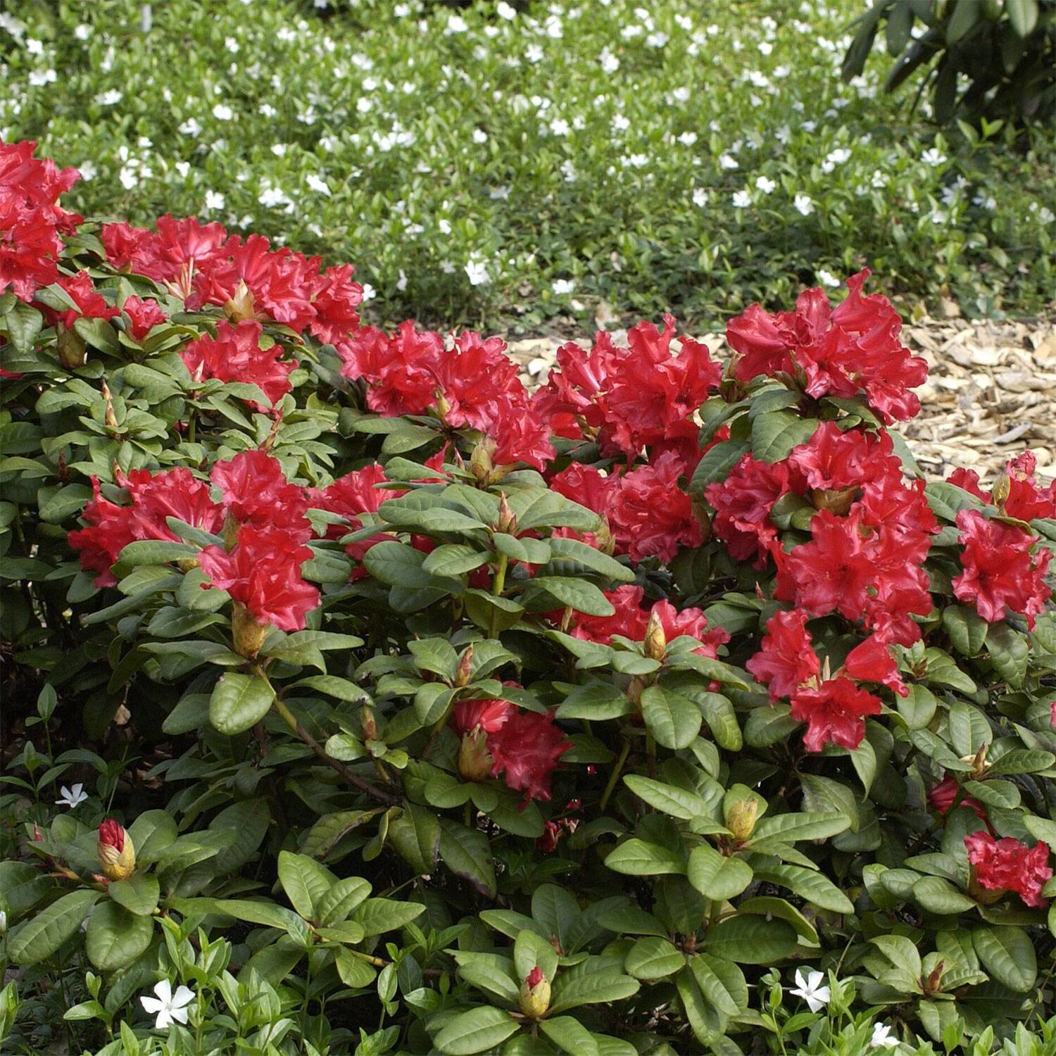 rhododendron 39 scarlet wonder 39 rhododendron repens. Black Bedroom Furniture Sets. Home Design Ideas