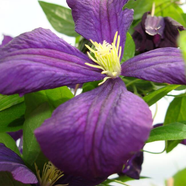waldrebe 39 etoile violette 39 clematis 39 etoile violette 39. Black Bedroom Furniture Sets. Home Design Ideas