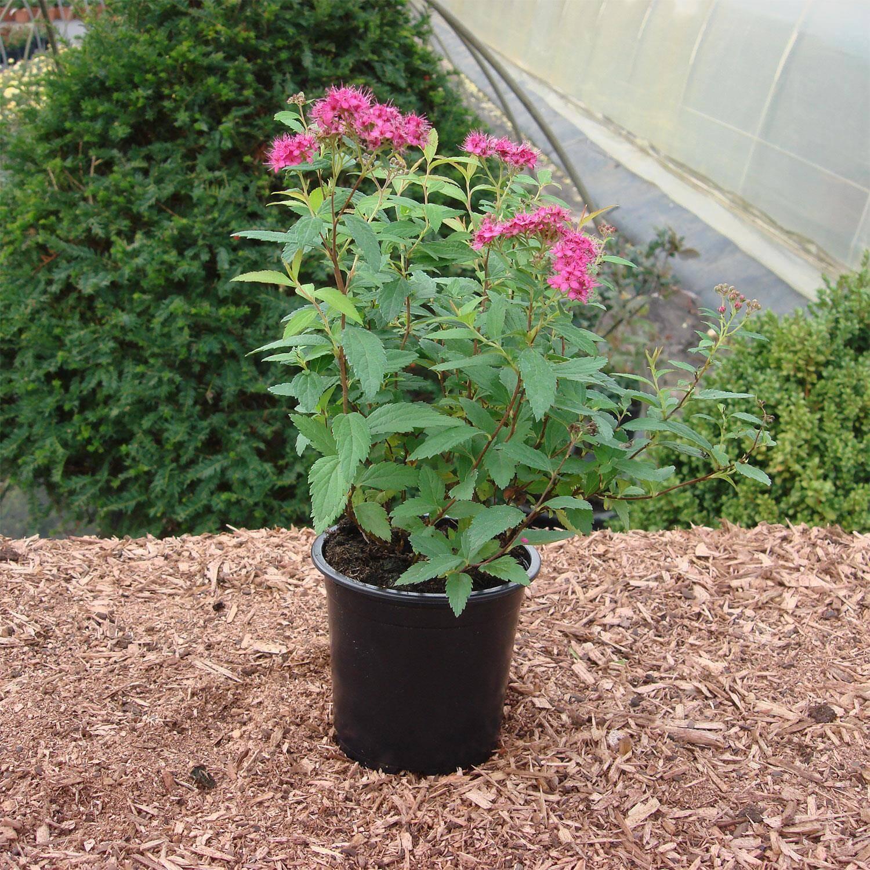 spiraea japonica 39 anthony waterer 39 rote sommerspiere. Black Bedroom Furniture Sets. Home Design Ideas