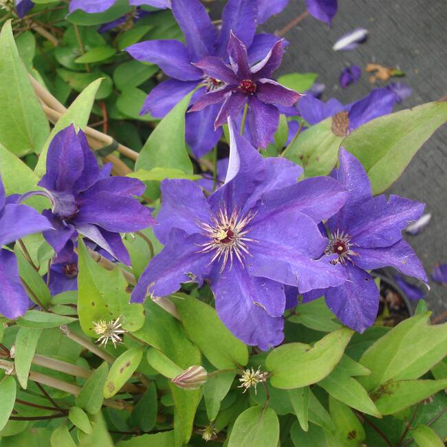 Clematis The President