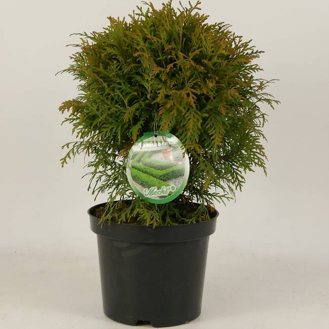 Thuja occidentalis Mecki C 3 20-25 cm