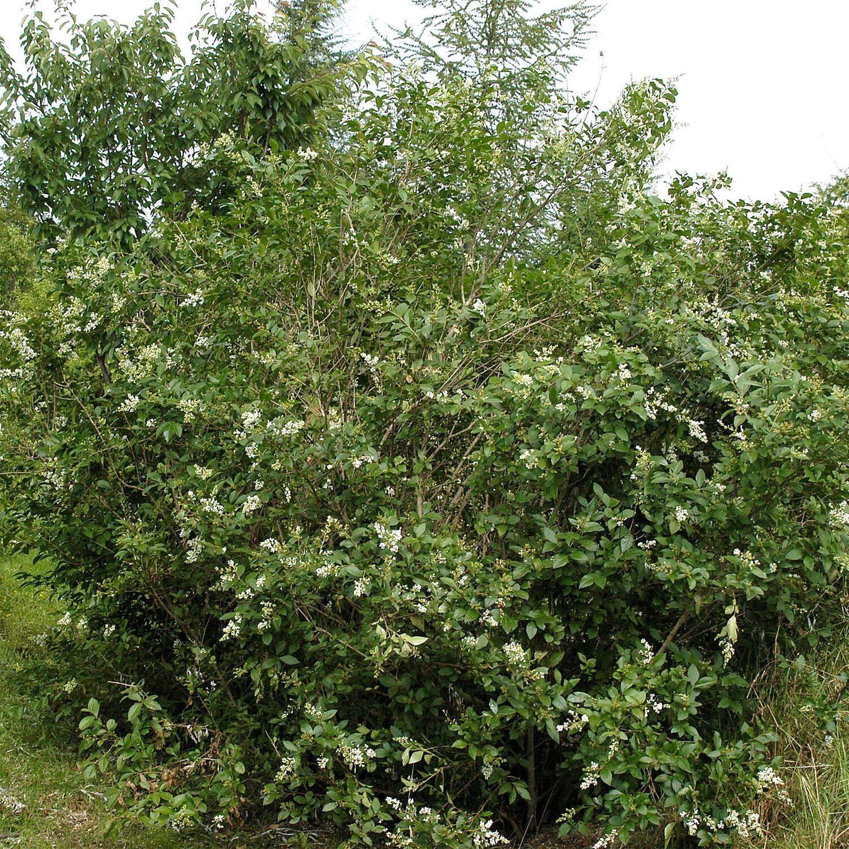 ligustrum ovalifolium (ovalblättriger liguster) kaufen