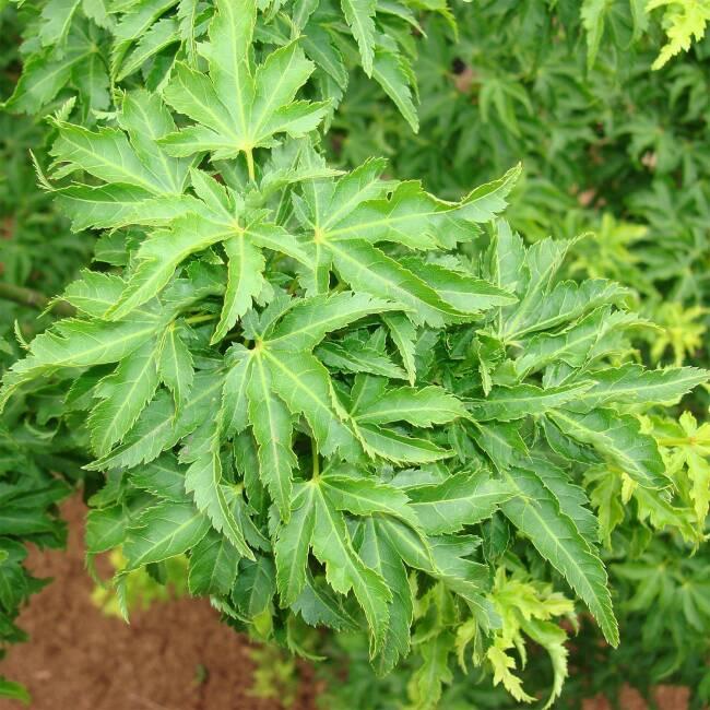 Pflanzen f r einen japangarten kaufen for Pflanzen japangarten