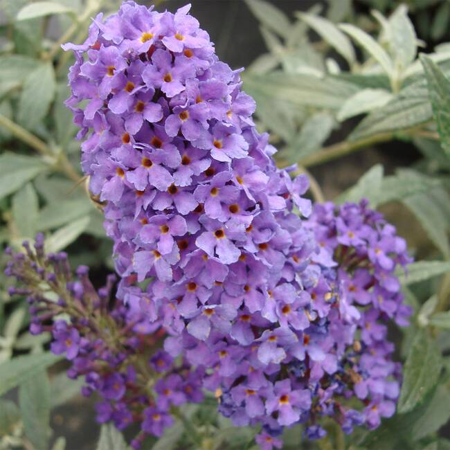 Buzz Buddleja davidii Sky Blue