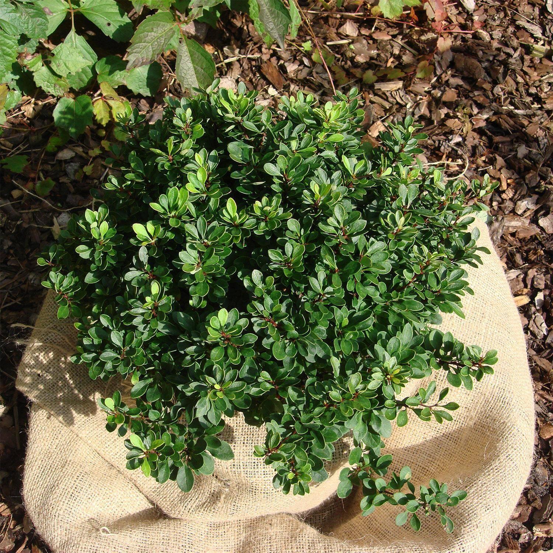berberis buxifolia 39 nana 39 gr ne polsterberberitze bestellen. Black Bedroom Furniture Sets. Home Design Ideas