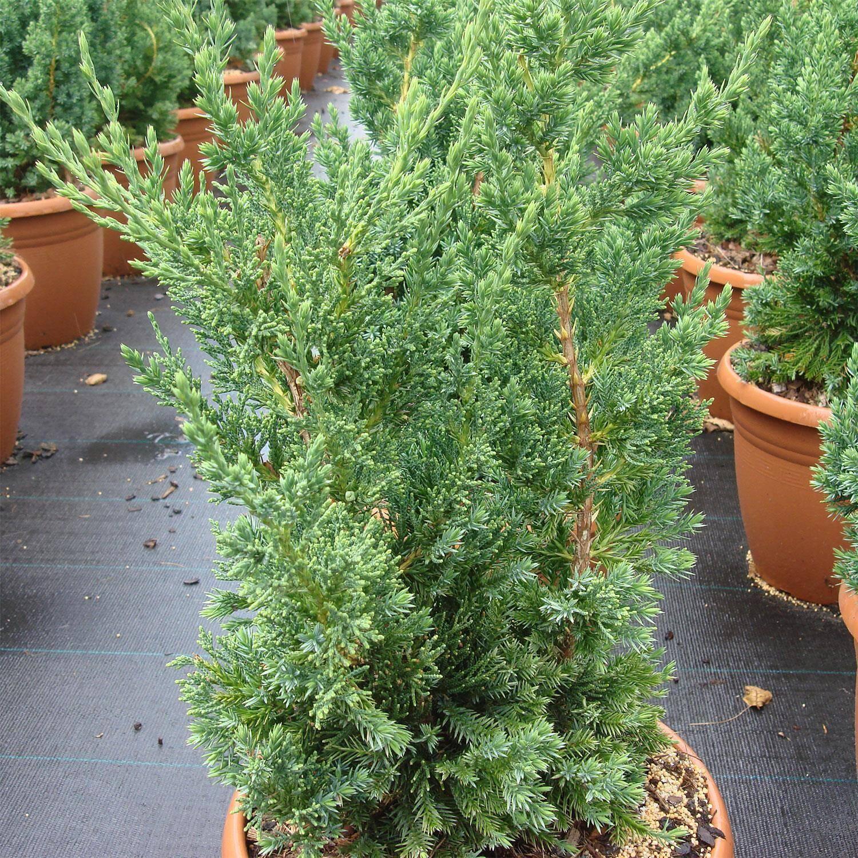juniperus chinensis 39 robusta green 39 chinesischer wacholder. Black Bedroom Furniture Sets. Home Design Ideas