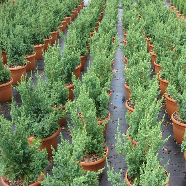 Juniperus chinensis Robusta Green