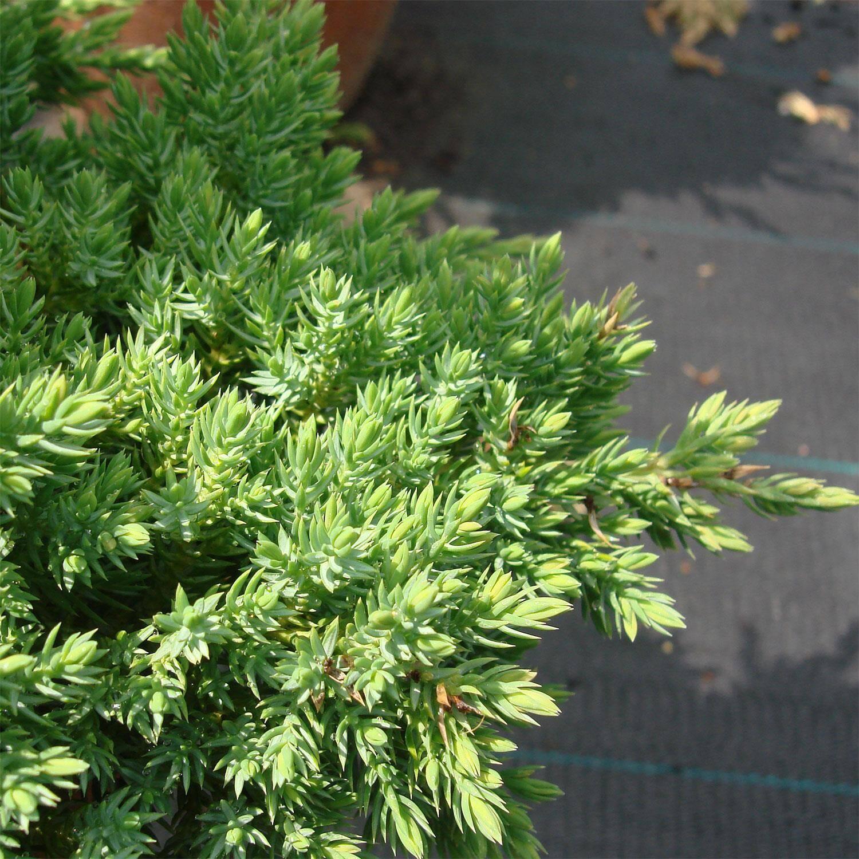 juniperus procumbens 39 nana 39 zwerg kriech wacholder. Black Bedroom Furniture Sets. Home Design Ideas