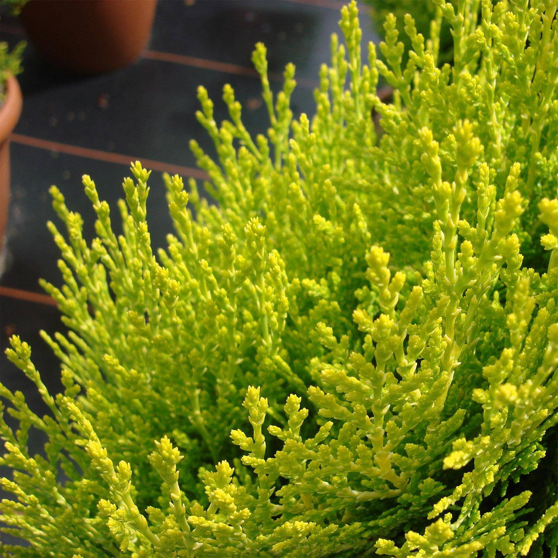 thuja orientalis 39 aurea nana 39 gelber zwerg lebensbaum. Black Bedroom Furniture Sets. Home Design Ideas