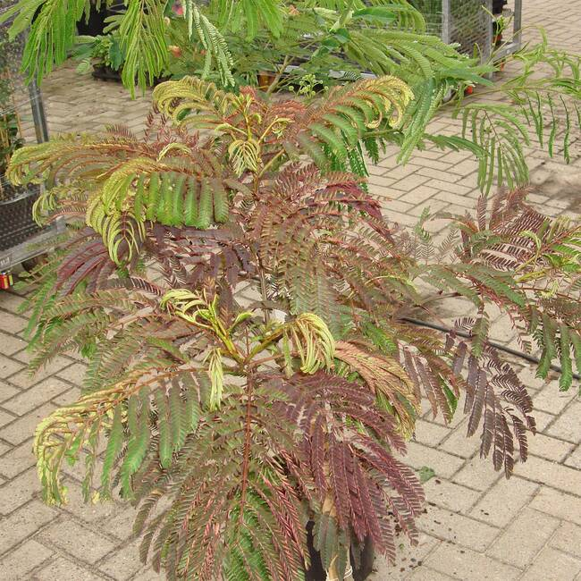 Albizia julibrissin Summer Chocolate