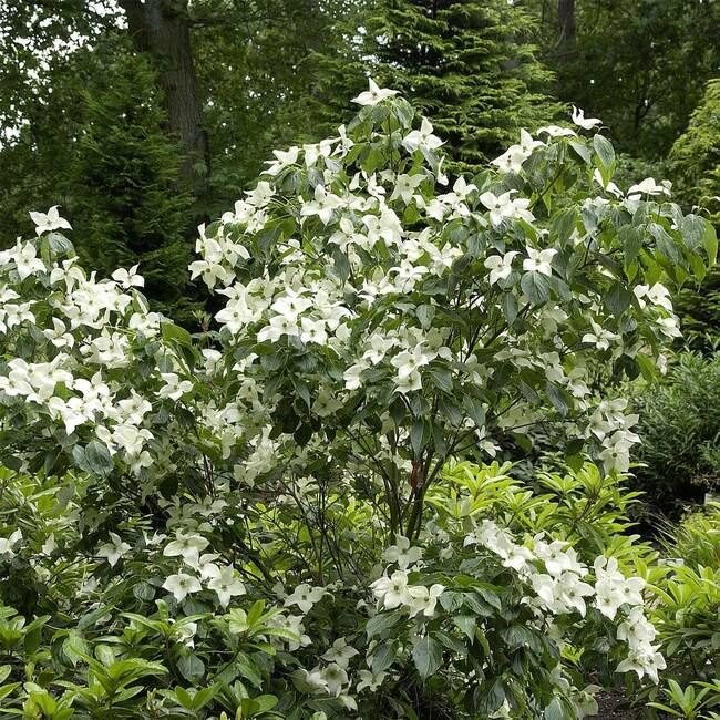Cornus kousa chinensis China Girl